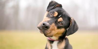 psi słuch