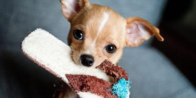 Hund bringt Sanalde im Maul