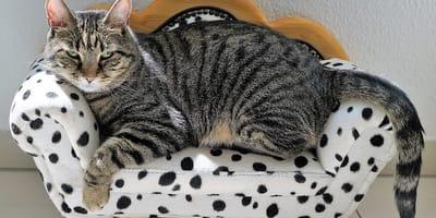 gato araña sofa