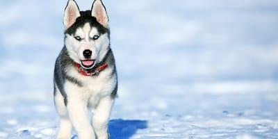 Jakie rasy psów są podobne do husky?