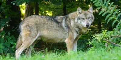 5 ras psów podobnych do wilka