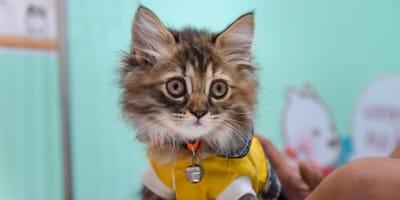 Perser Mix Katze: Häusliche Samtpfote mit Ansprüchen