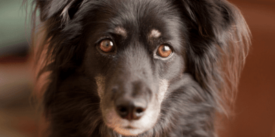 Home remedies for your dog's eye infection