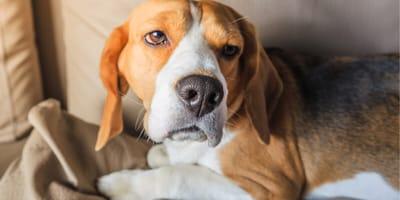 Chory beagle