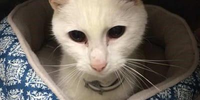 Primo piano di un gatto bianco anziano