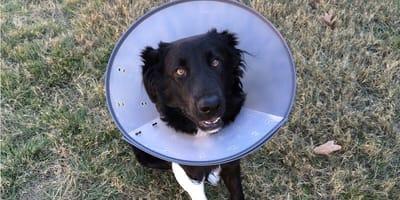 Kołnierz ochronny dla psa – kiedy go stosujemy?