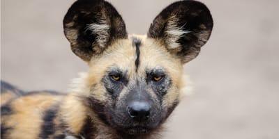 Likaon – dziki pies afrykański