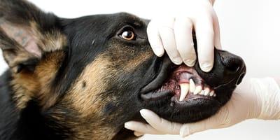 Zgryz u psa