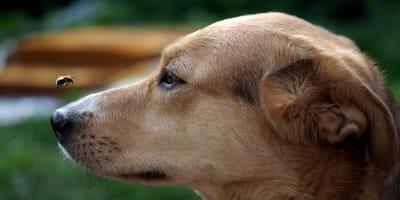 Co zrobić, gdy pies zostanie użądlony przez pszczołę?