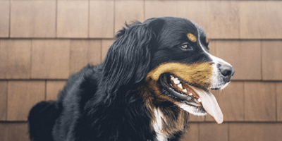Bernese dog panting