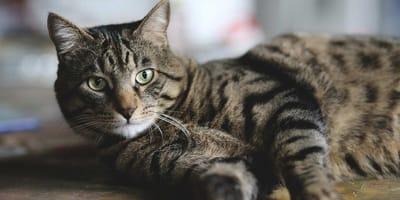 gatto sdraiato con sguardo alto