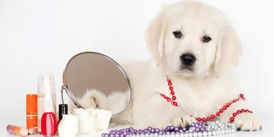 Hund vor Schminkspiegel mit Lippenstift, Nagellack und Co