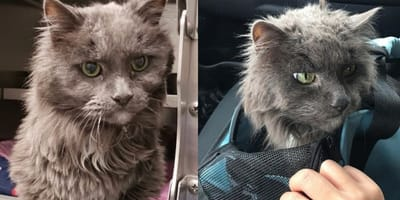 20 year old grey cat