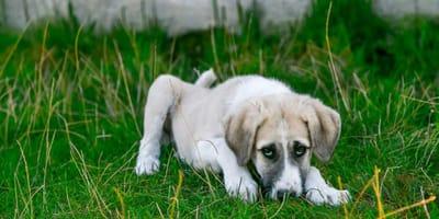 Objawy i leczenie nużycy u psa