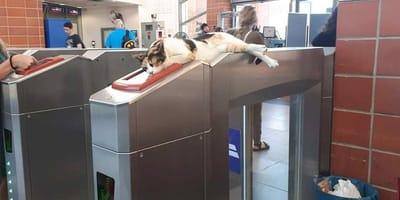 Gatto su macchinetta per entrare in metropolitana