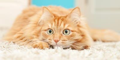 Ginger nervous cat