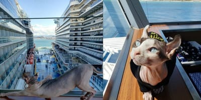 Sphynx cat on a cruise