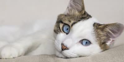 gatto-dagli-occhi-blu