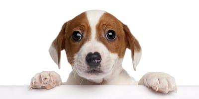 cuando se vacuna un cachorro por primera vez