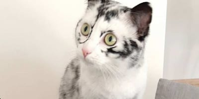 gatto con vitiligine e pelo bianco e nero