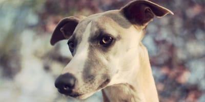 significado orejas perro