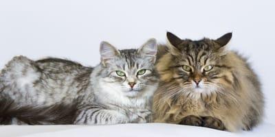 Männliche und weibliche siberische Katze