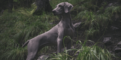 10 Blue dog breeds that you will love