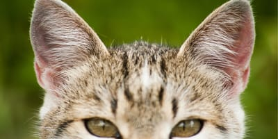 uszy kota