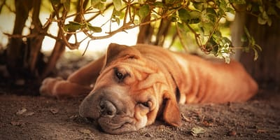 Embarazo psicológico perros: ¿Qué hacer cuando sucede?