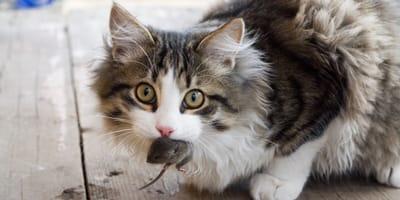 Dlaczego kot przynosi myszy do domu?