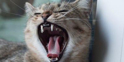 Zęby kota