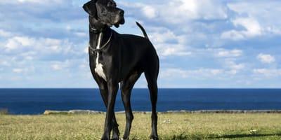 Największe psy świata – poznaj rekordzistów