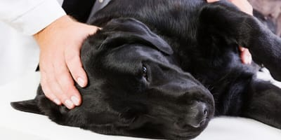 Tratamiento para perros con leishmaniasis: todo lo que debes saber