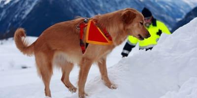 Lawinenhund im Einsatz