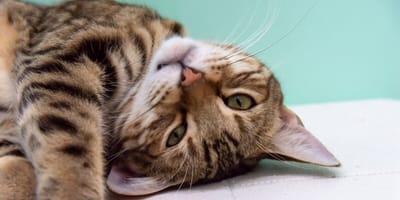 Bengal Mix Katze