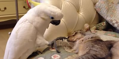 Parrot wants to touch cat