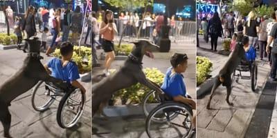 Pies pomocnik osoby na wózku