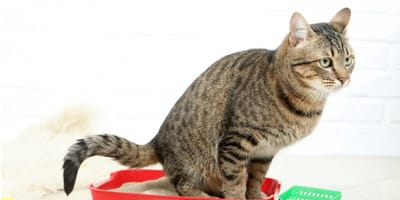 8 Remedies for cat constipation