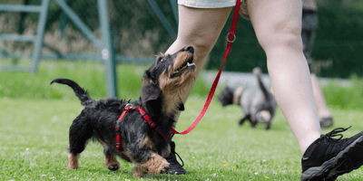 Teckel dog being trained on a lead