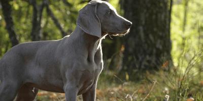 Brown hound dog breed
