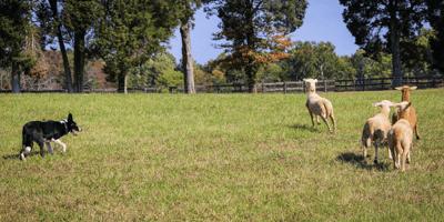 Australian shepherd with sheeps