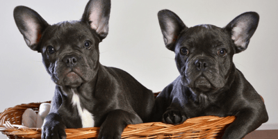 Everything you need to know about the French Bulldog cross