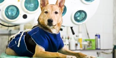 Kastracja psa – wszystko, co powinieneś wiedzieć o zabiegu
