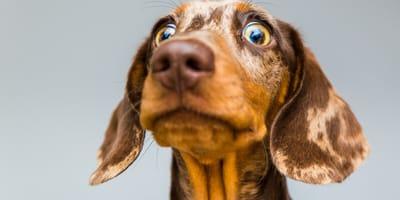 perro con cara de molesto