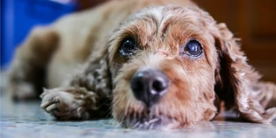 Tasiemiec u psa: jakie są objawy i jak wygląda leczenie?