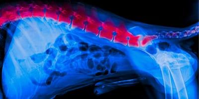 Spondyloza u psa
