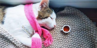 przeziębienie u kota