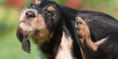 Świerzb u psa – rozpoznanie i leczenie świerzbowca