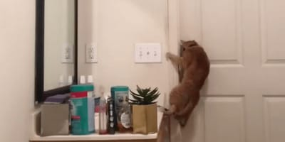 Cubby the cat was captured on camera breaking out of a bathroom and his amazing escape goes viral