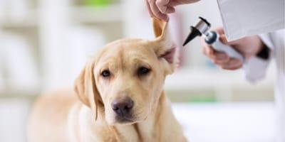 zapelenie ucha u psa